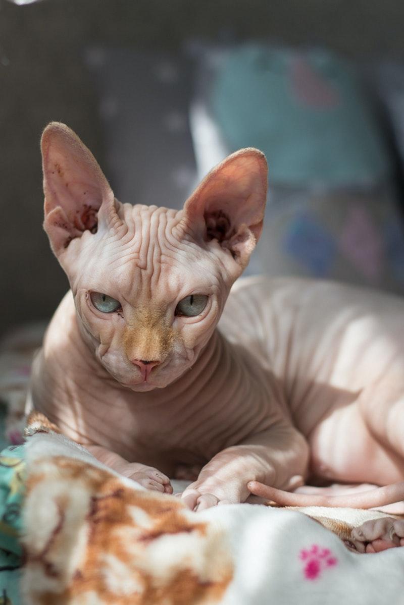 kot bez sierści odpowiedni dla alergika